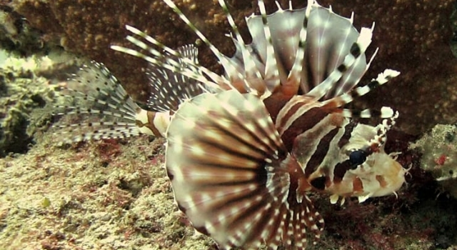 Lion Fish Closeup Indonesia, Poisson diable