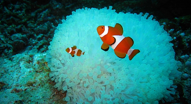 Clown fishes waiting in front of their blue anemone house, Poisson clown