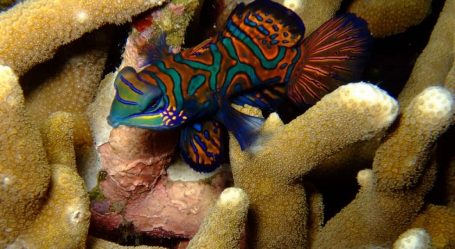 Beautiful & Colorful Mandarin Fish , Poisson mandarin