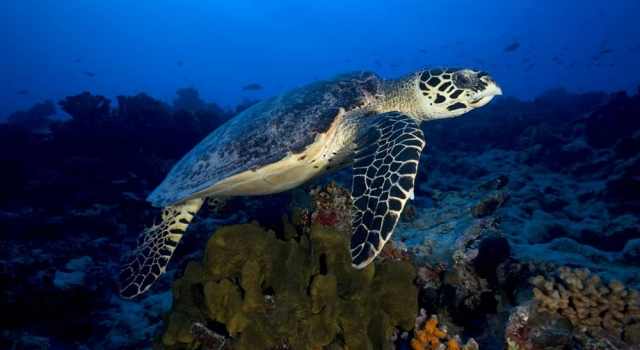 Turtle, Tortues