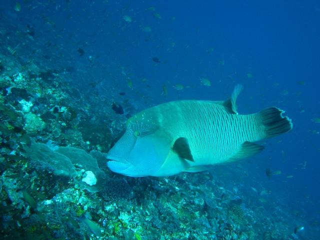 poisson-napoleon-plongee-ile-komodo