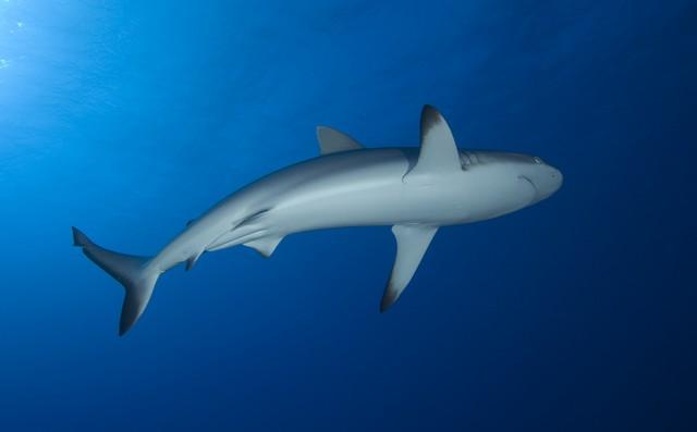 requin gris rangiroa