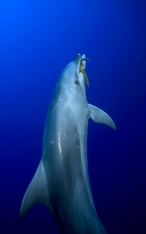 plonger avec les dauphins de la passe de tiputa, atoll de rangiroa, archipel des tuamotu