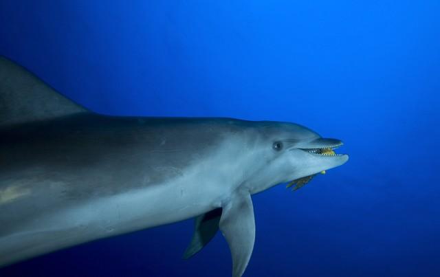 grand dauphin de la passe de tiputa à rangiroa