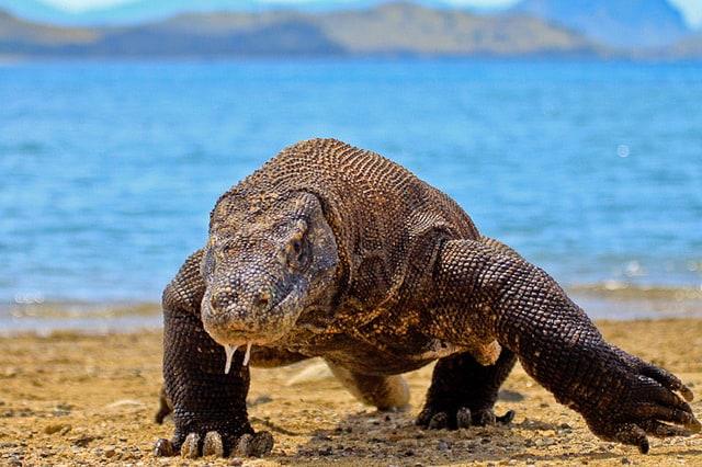 dragon de komodo durant une croisiere plongee