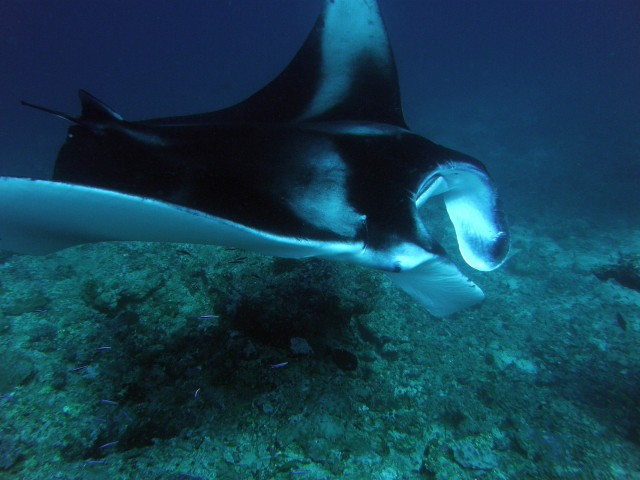 raie mante aux maldives en croisiere de plongee sous marine