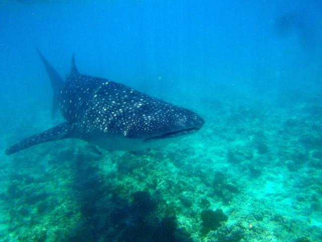 requin baleine en croisiere de plongee aux maldives