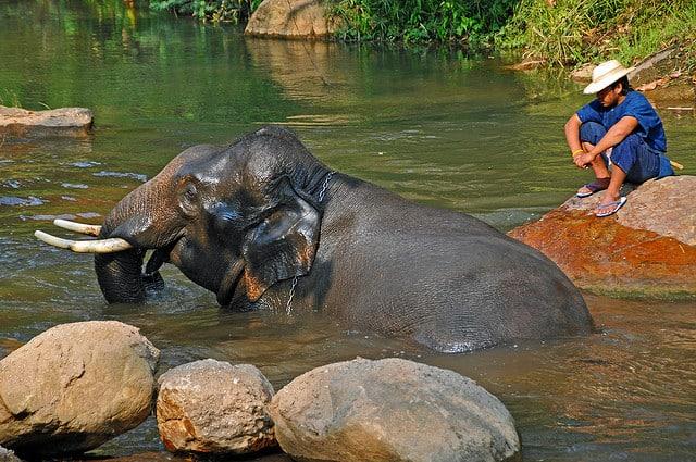 baignade avec un éléphant en thailande