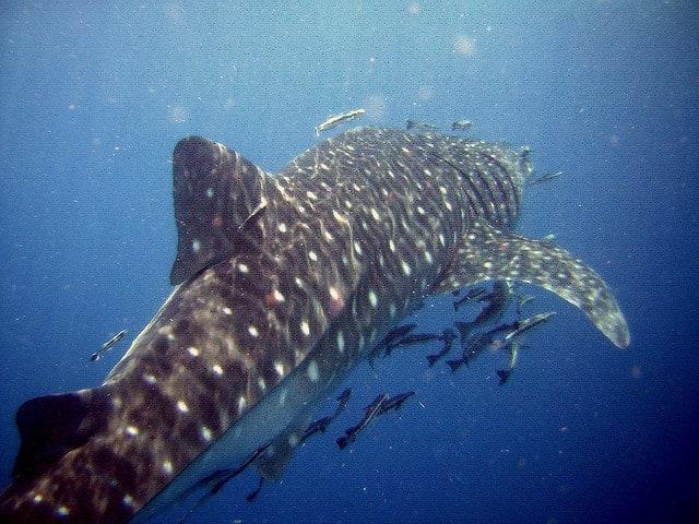 plonger avec requin baleine en thailande