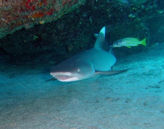 Requin récif à pointe blanche se repose sous du corail à Padang Bai (Bali, Indonésie)