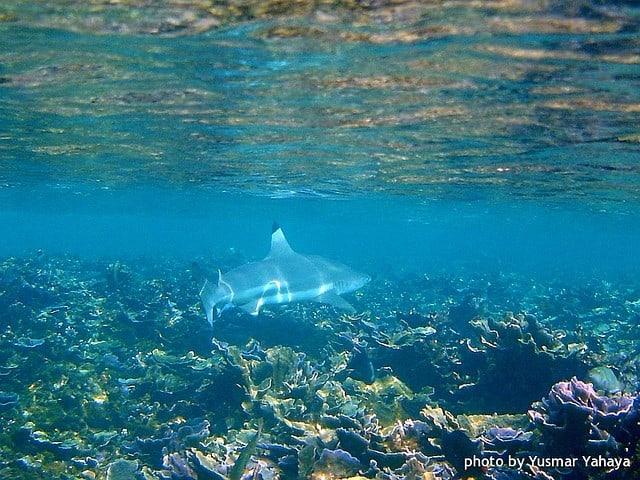 requin de récif en snorkeling aux perhentian