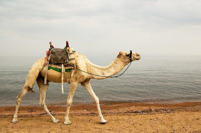 chameau dromadaire plage plongée dahab egypte