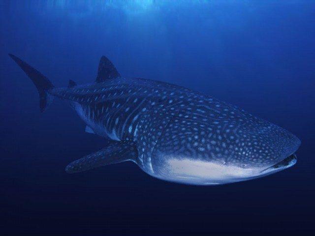 blog plongee tout savoir sur les requins baleine
