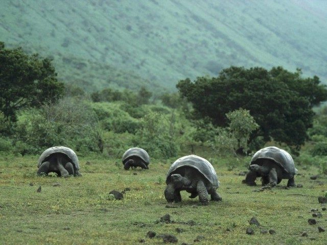 tortues geantes des galapagos